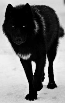 Black-Fury-PB-Lupus.png